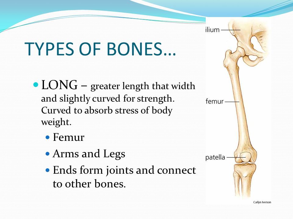 TYPES OF BONES… LONG – greater length that width and slightly curved for strength. Curved to absorb stress of body weight.