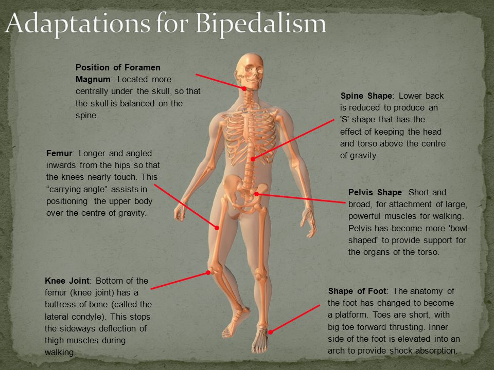 Adaptations for Bipedalism