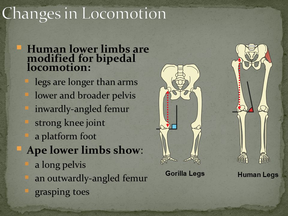 Changes in Locomotion Human lower limbs are modified for bipedal locomotion: legs are longer than arms.