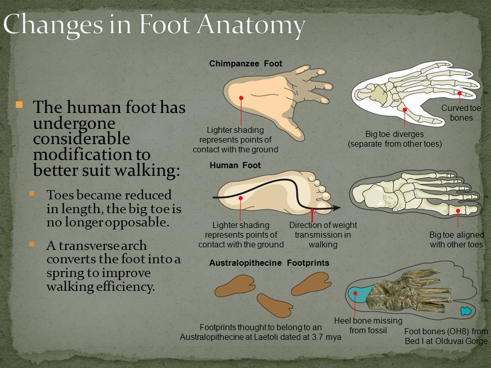 Changes in Foot Anatomy