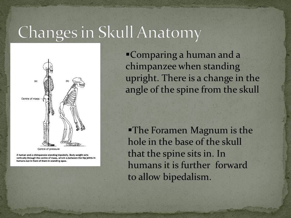 Changes in Skull Anatomy