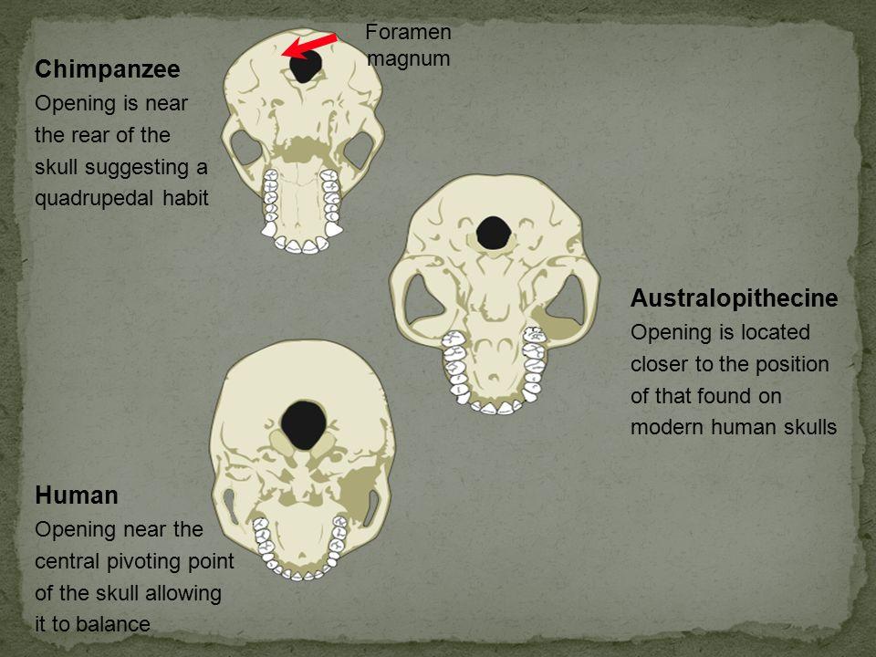 Chimpanzee Australopithecine Human Foramen magnum
