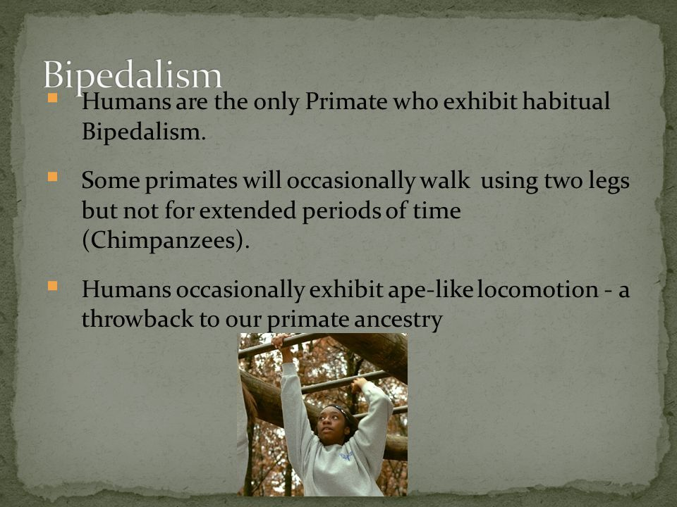 Bipedalism Humans are the only Primate who exhibit habitual Bipedalism.