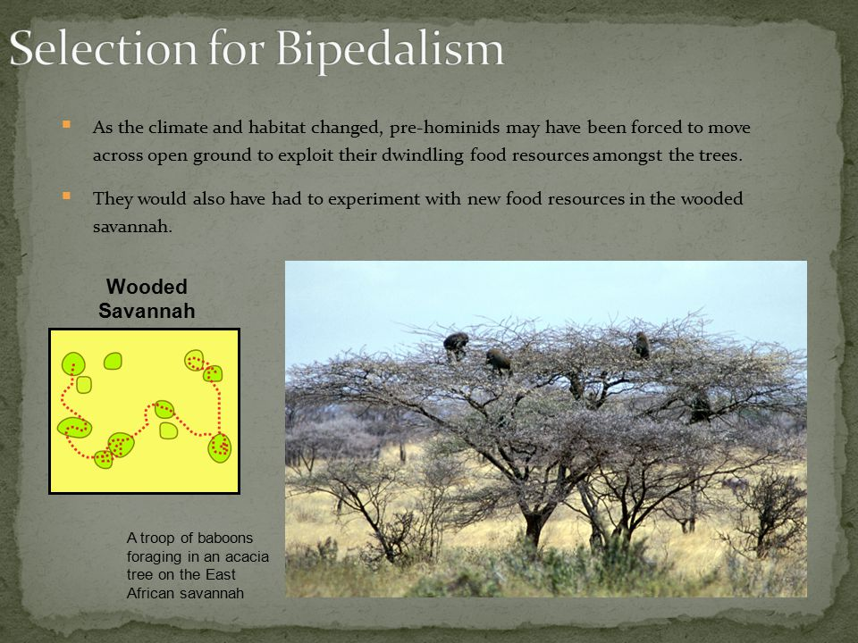 Selection for Bipedalism