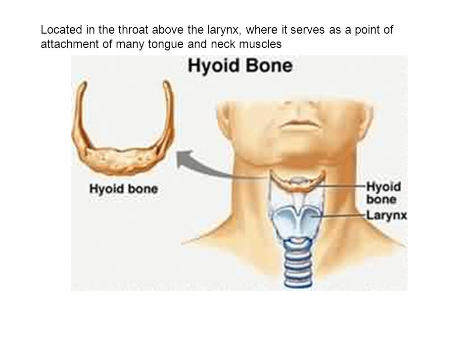 Located in the throat above the larynx, where it serves as a point of attachment of many tongue and neck muscles