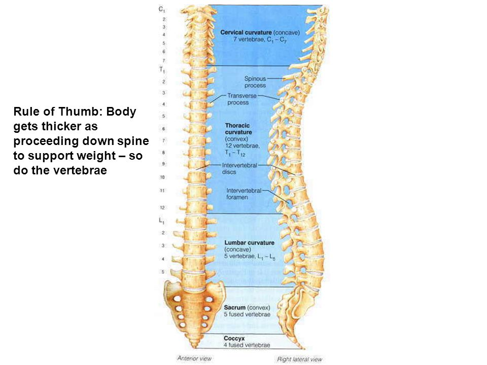 Rule of Thumb: Body gets thicker as proceeding down spine to support weight – so do the vertebrae