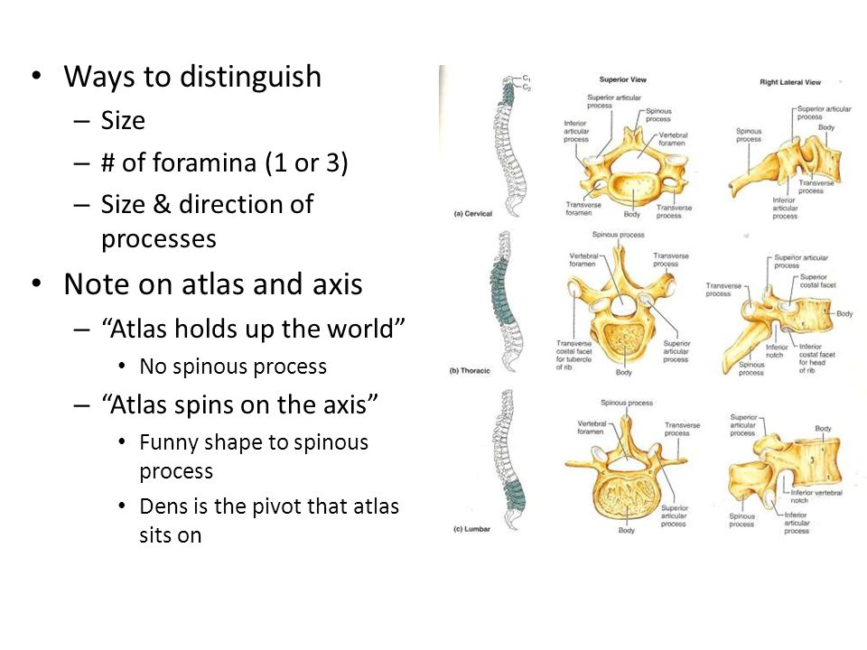 Ways to distinguish Note on atlas and axis Size # of foramina (1 or 3)