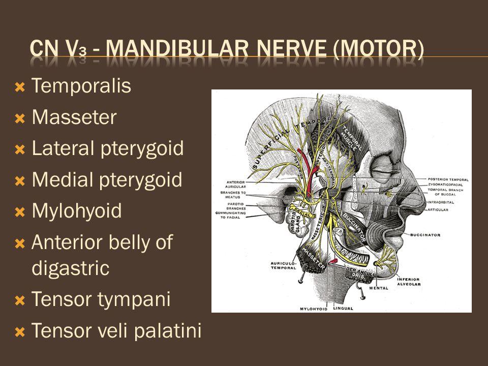 CN V3 - Mandibular nerve (motor)