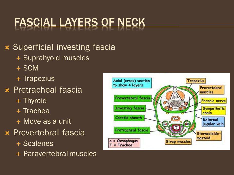Fascial Layers of Neck Superficial investing fascia Pretracheal fascia