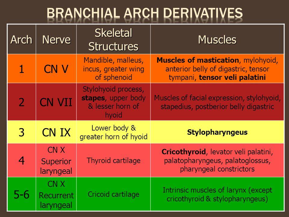 Branchial arch derivatives