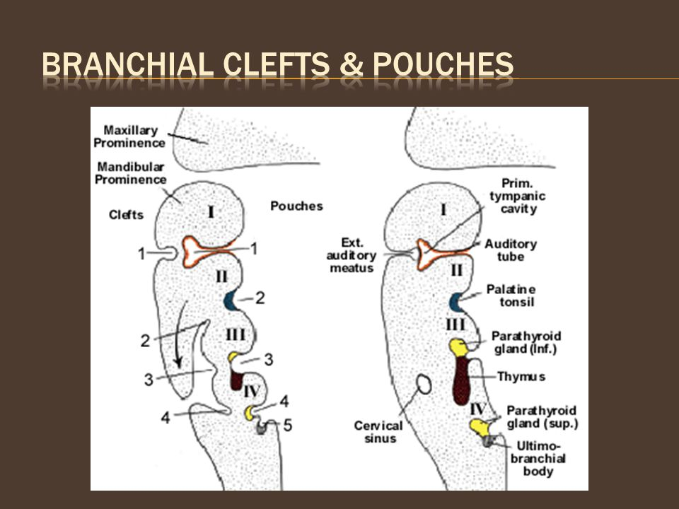 Branchial Clefts & Pouches