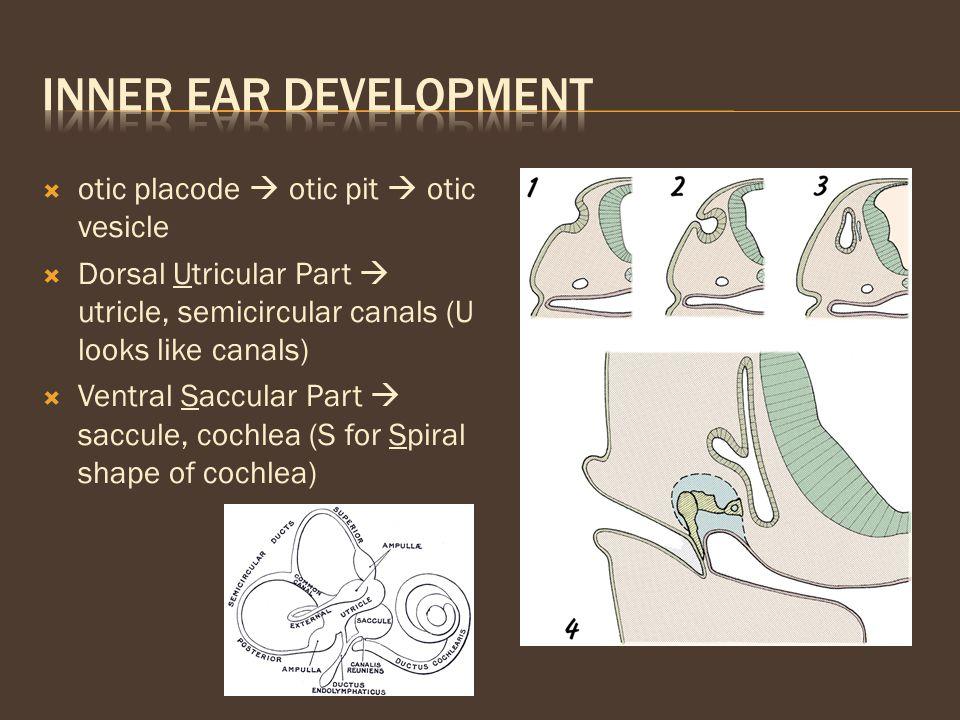 Inner Ear Development otic placode  otic pit  otic vesicle