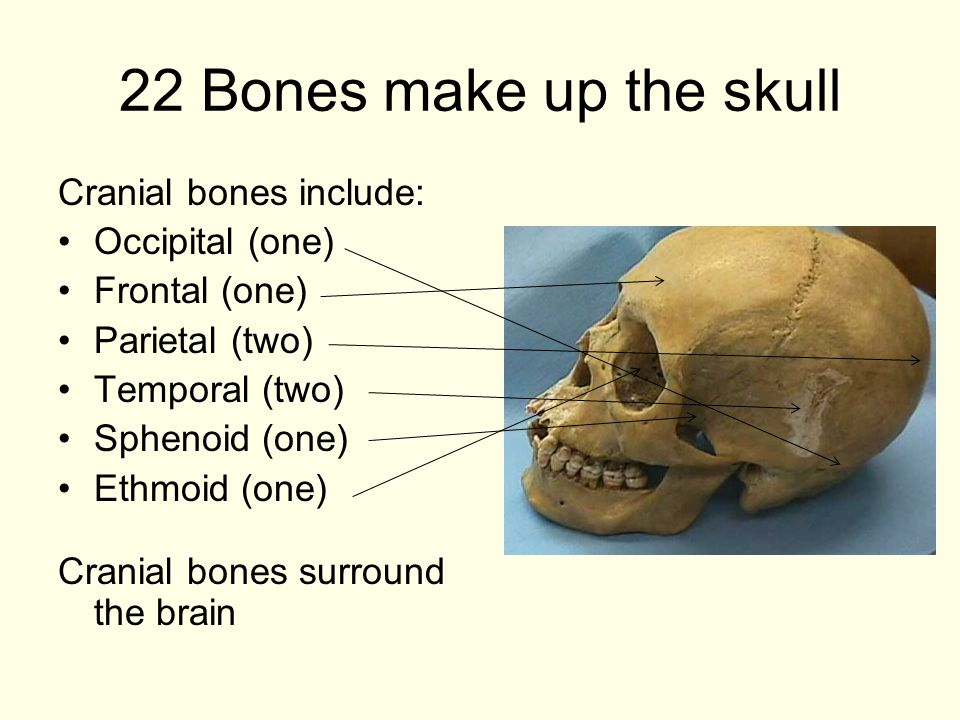 22 Bones make up the skull Cranial bones include: Occipital (one)