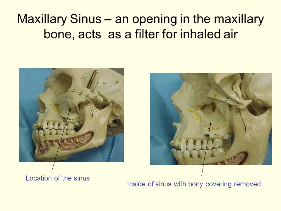 Maxillary Sinus – an opening in the maxillary bone, acts as a filter for inhaled air
