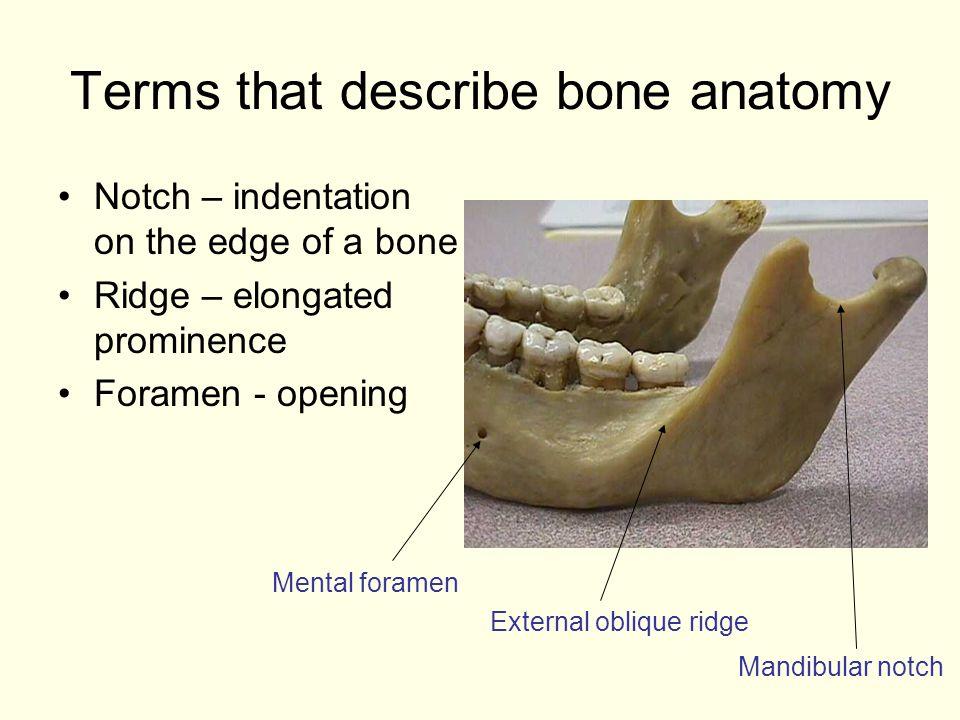 Terms that describe bone anatomy