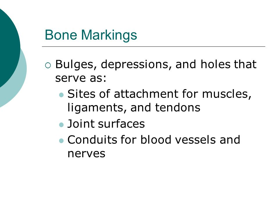 Bone Markings Bulges, depressions, and holes that serve as:
