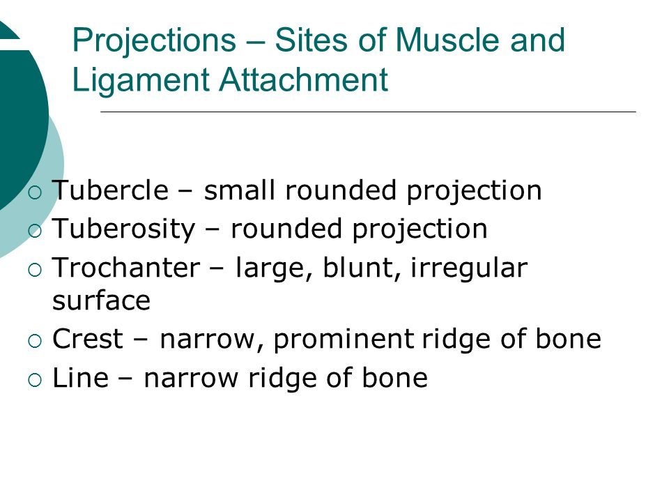 Projections – Sites of Muscle and Ligament Attachment