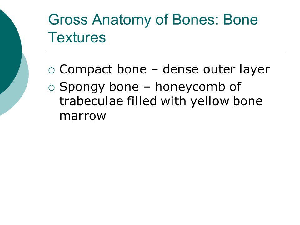 Gross Anatomy of Bones: Bone Textures