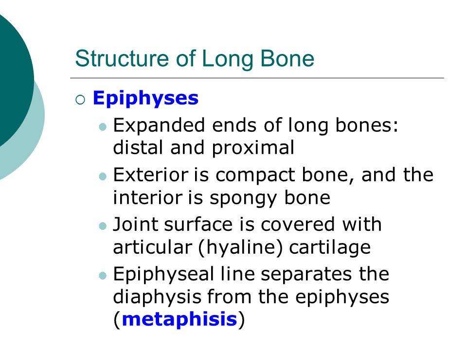 Structure of Long Bone Epiphyses