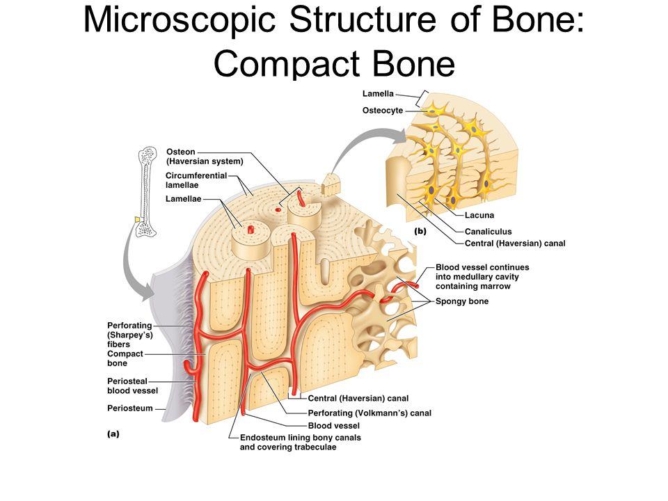 Microscopic Structure of Bone: Compact Bone