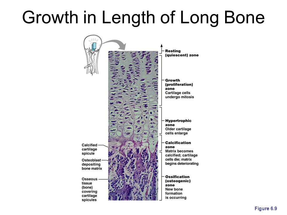 Growth in Length of Long Bone