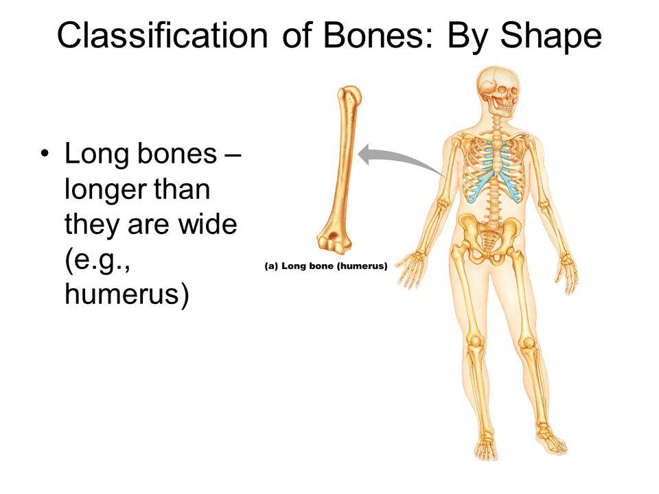 Classification of Bones: By Shape