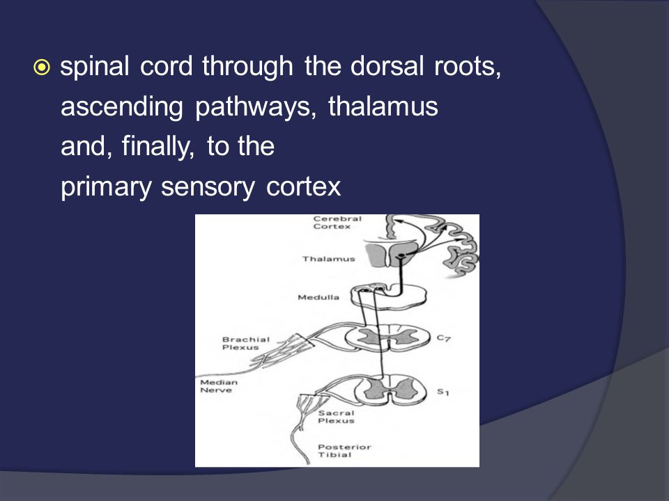 spinal cord through the dorsal roots,