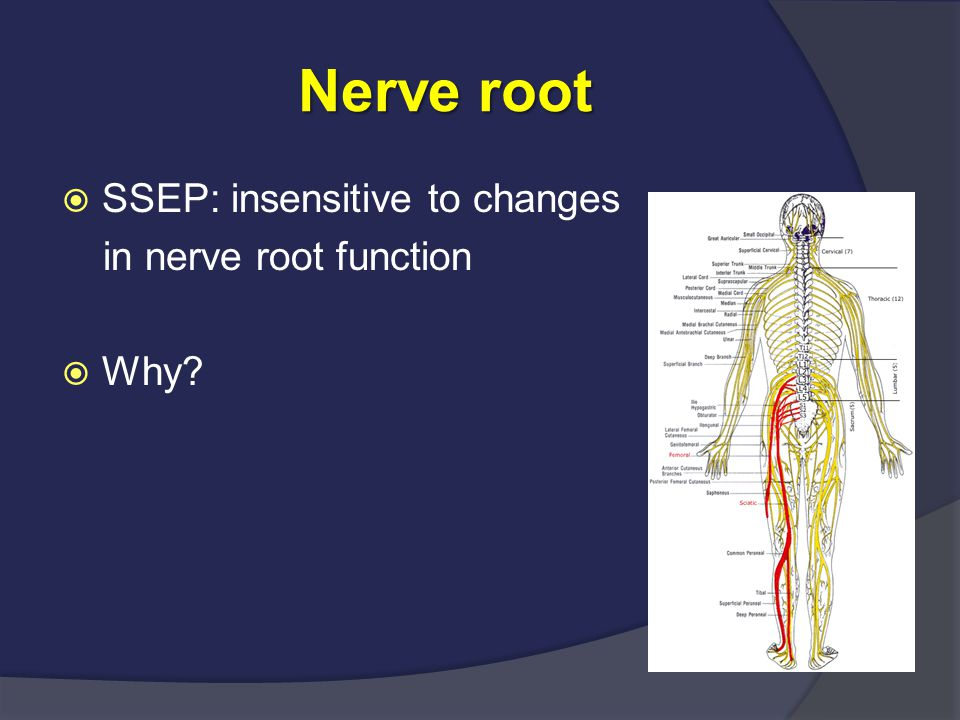Nerve root SSEP: insensitive to changes in nerve root function Why