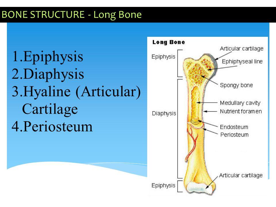 BONE STRUCTURE - Long Bone