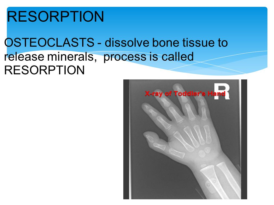 RESORPTION OSTEOCLASTS - dissolve bone tissue to release minerals, process is called RESORPTION