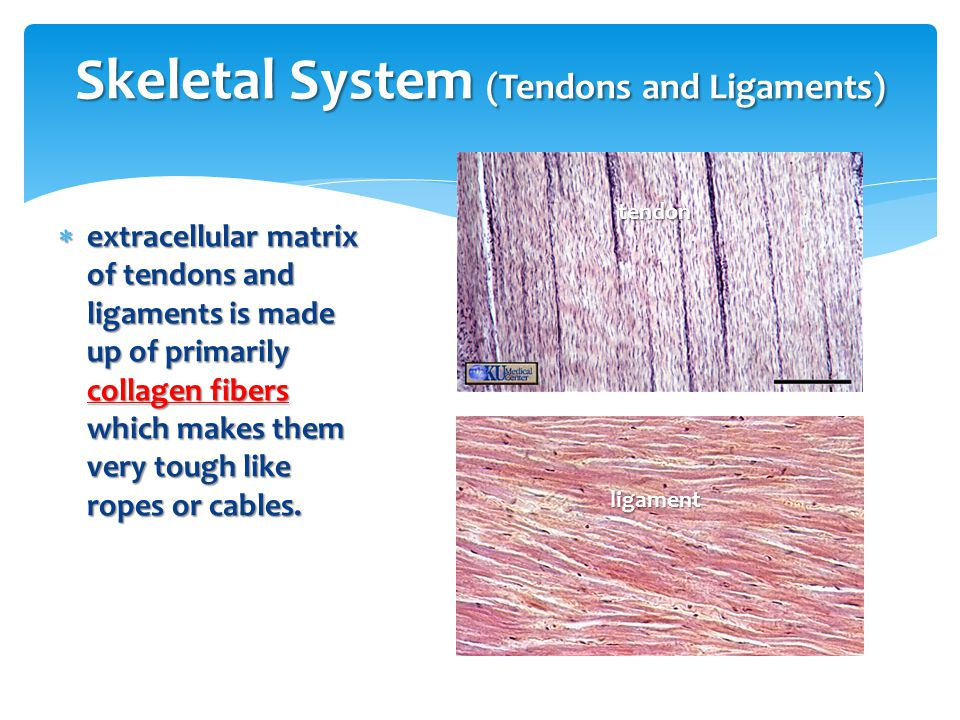 Skeletal System (Tendons and Ligaments)
