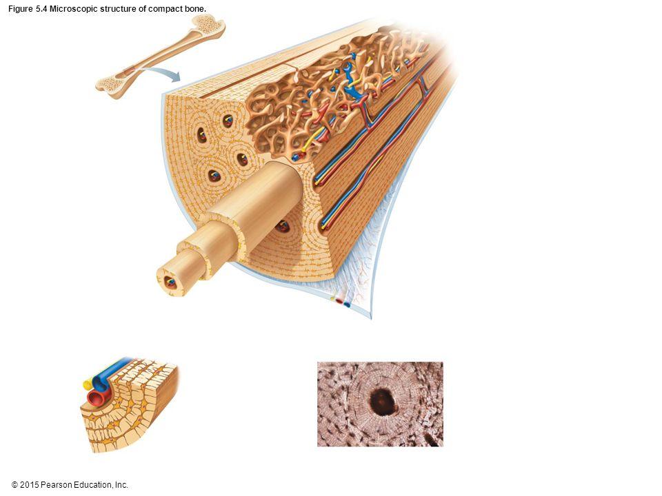 Figure 5.4 Microscopic structure of compact bone.
