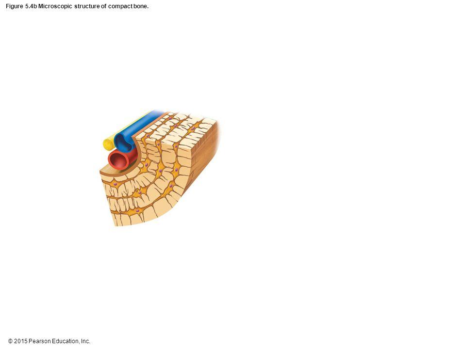 Figure 5.4b Microscopic structure of compact bone.