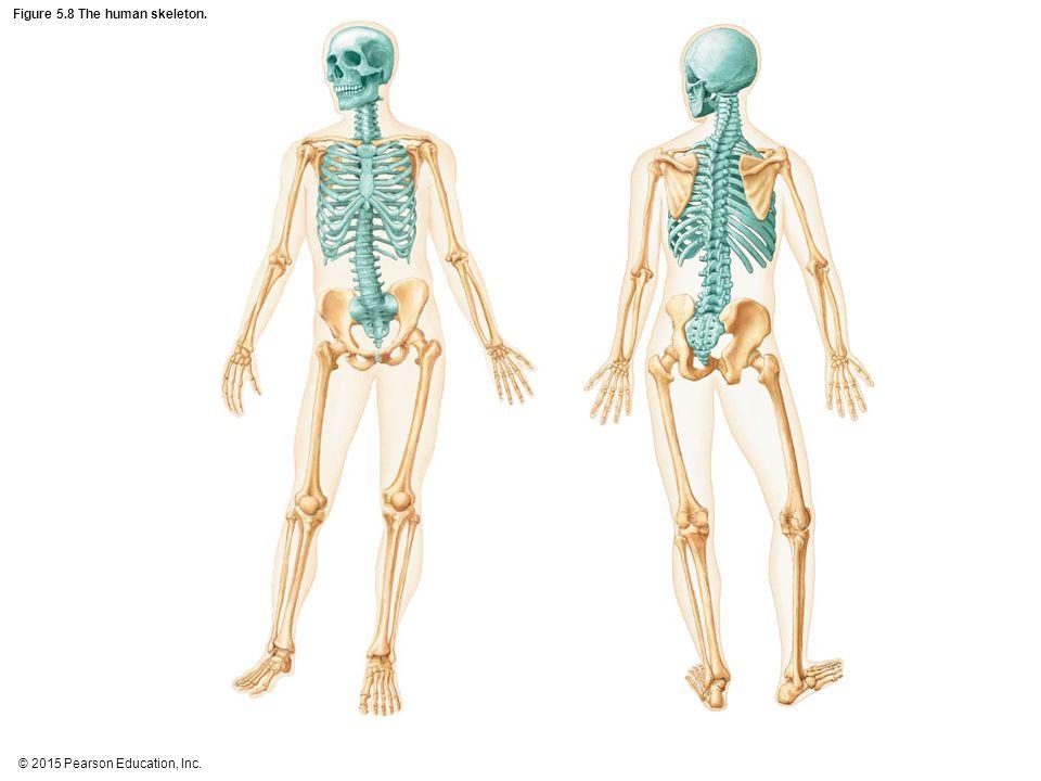 Figure 5.8 The human skeleton.