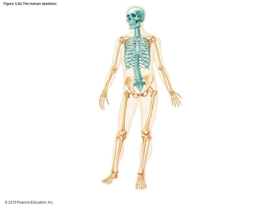 Figure 5.8a The human skeleton.