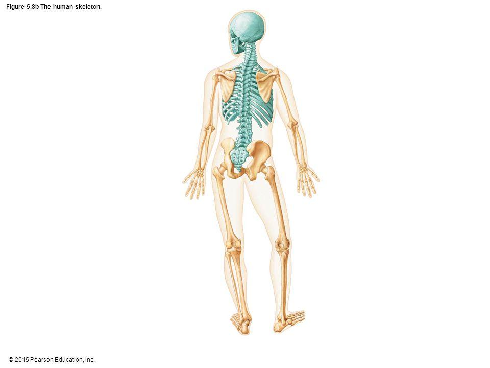 Figure 5.8b The human skeleton.