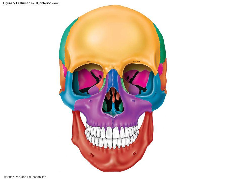 Figure 5.12 Human skull, anterior view.