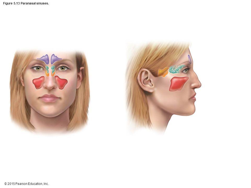 Figure 5.13 Paranasal sinuses.