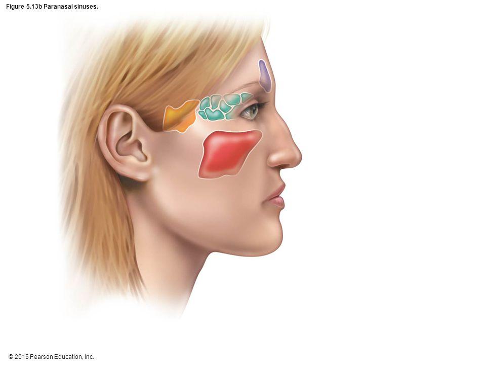 Figure 5.13b Paranasal sinuses.