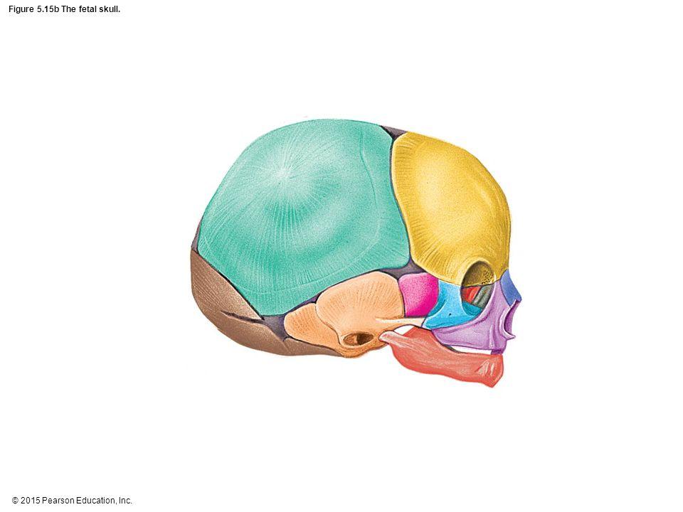 Figure 5.15b The fetal skull.