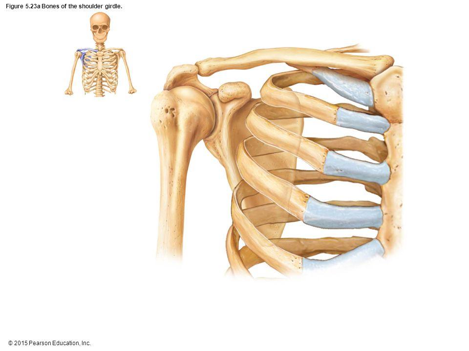 Figure 5.23a Bones of the shoulder girdle.