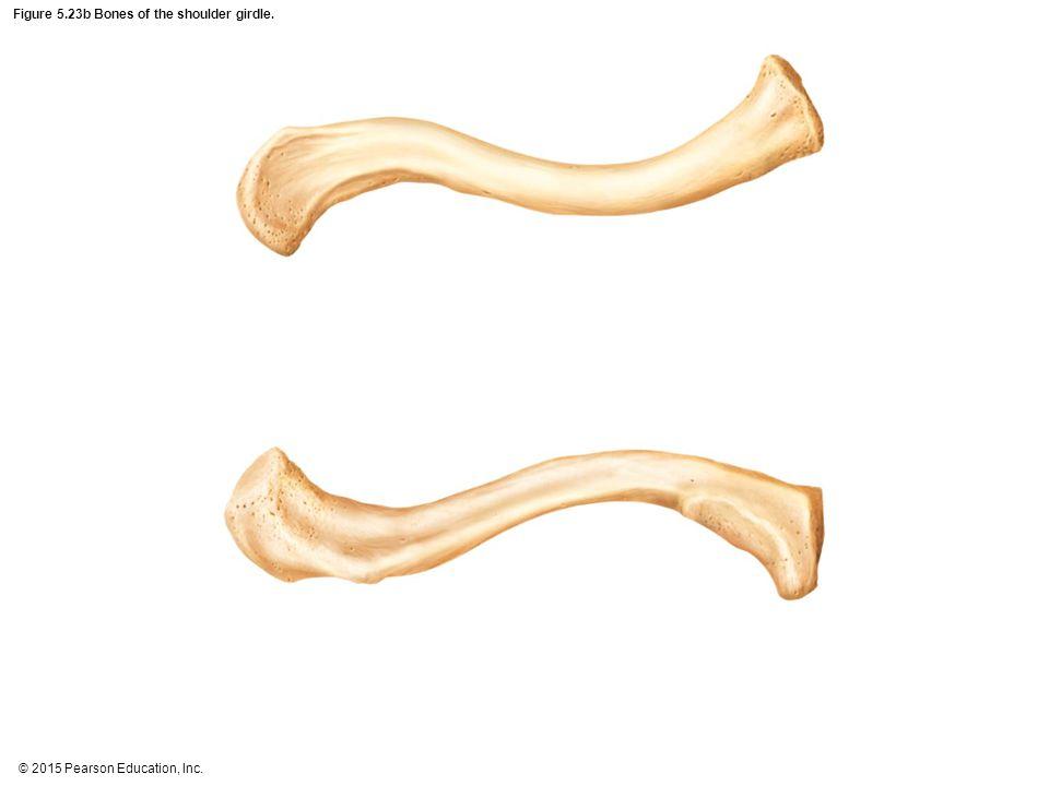 Figure 5.23b Bones of the shoulder girdle.