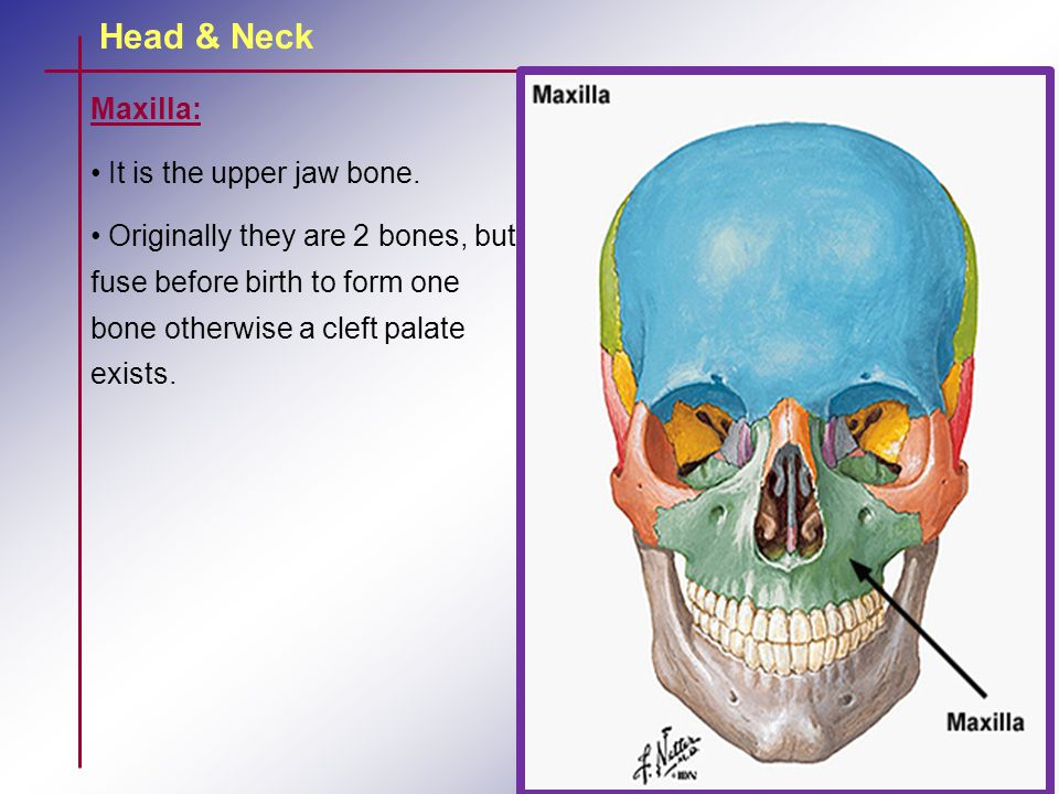 Head & Neck Maxilla: It is the upper jaw bone.