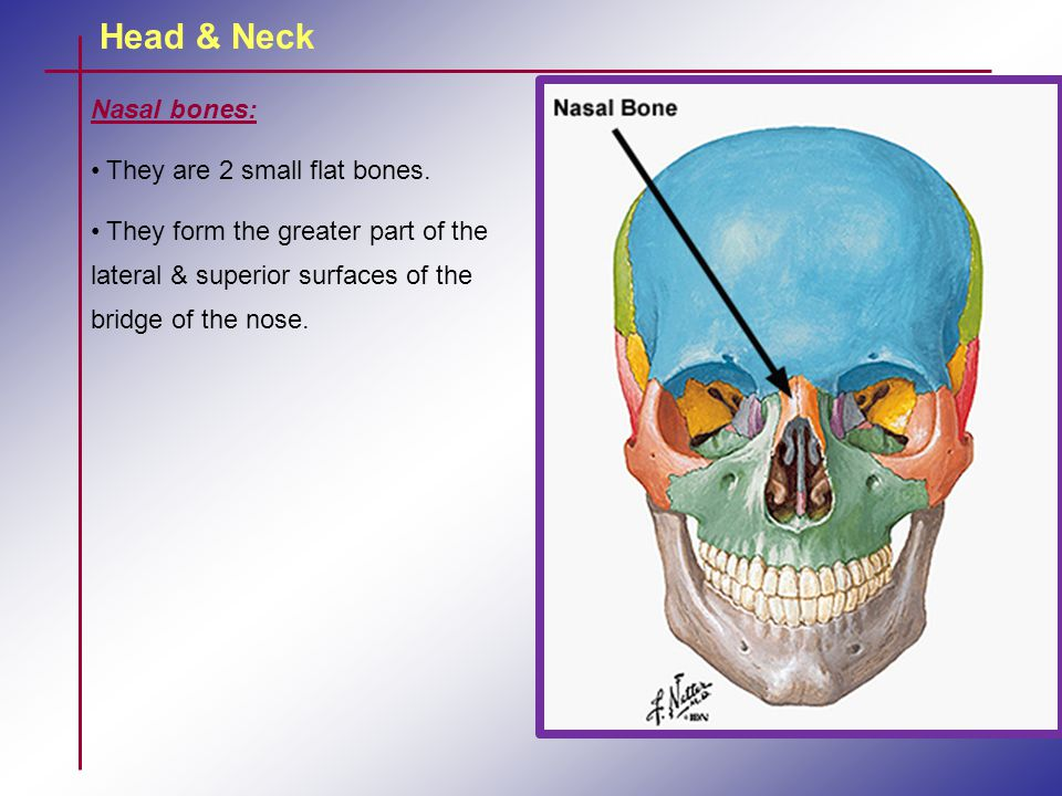 Head & Neck Nasal bones: They are 2 small flat bones.