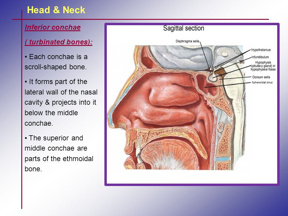 Head & Neck Inferior conchae ( turbinated bones):