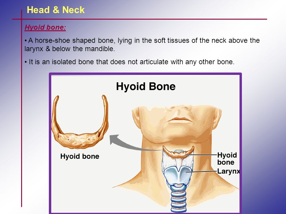 Head & Neck Hyoid bone: A horse-shoe shaped bone, lying in the soft tissues of the neck above the larynx & below the mandible.