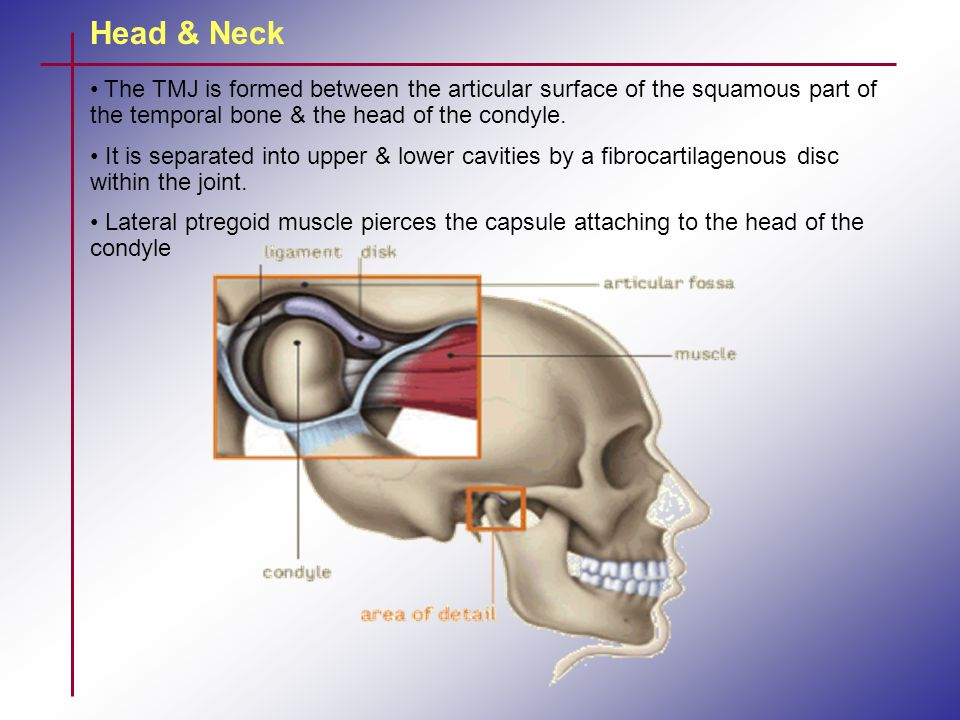 Head & Neck The TMJ is formed between the articular surface of the squamous part of the temporal bone & the head of the condyle.