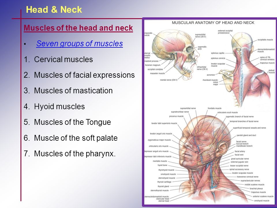 Head & Neck Muscles of the head and neck Cervical muscles