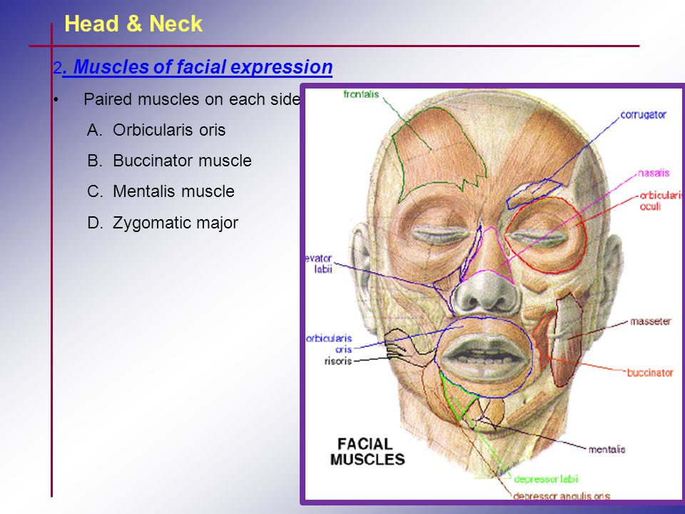 Head & Neck 2. Muscles of facial expression