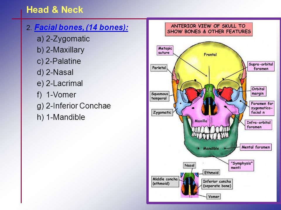 Head & Neck a) 2-Zygomatic b) 2-Maxillary c) 2-Palatine d) 2-Nasal